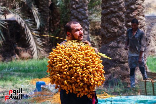 حصاد البلح (20)