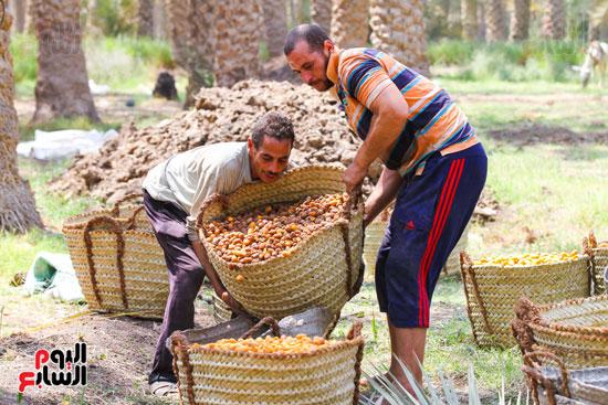حصاد البلح (32)