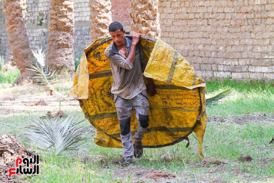 حصاد البلح (5)