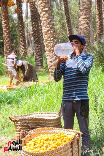 حصاد البلح (24)