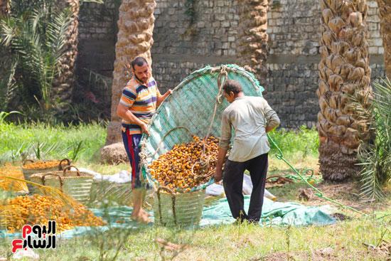 حصاد البلح (33)