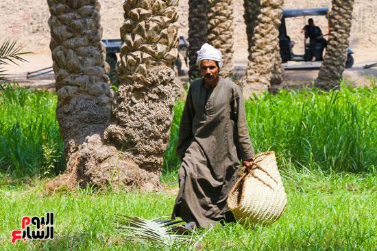 حصاد البلح (10)