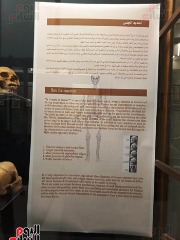 15 جمجمة جديدة بالمتحف المصرى (7)