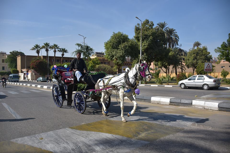 متي تنتهي أزمات عربات الحنطور وتقنن المحافظة أوضاعها لخدمة السياحة بصورة أفضل (15)