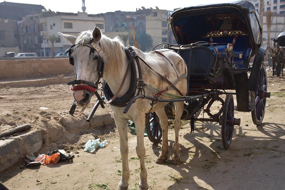 متي تنتهي أزمات عربات الحنطور وتقنن المحافظة أوضاعها لخدمة السياحة بصورة أفضل (18)