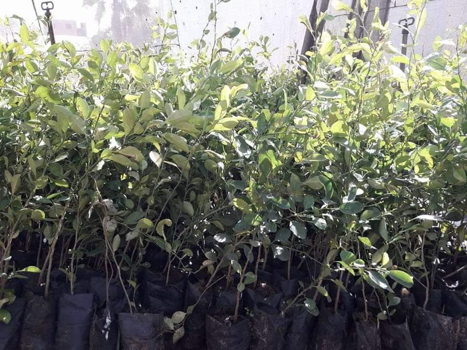 شتلات الفاكهة مخفضة السعر بزراعة الوادى الجديد (1)
