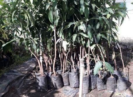 شتلات الفاكهة مخفضة السعر بزراعة الوادى الجديد (4)