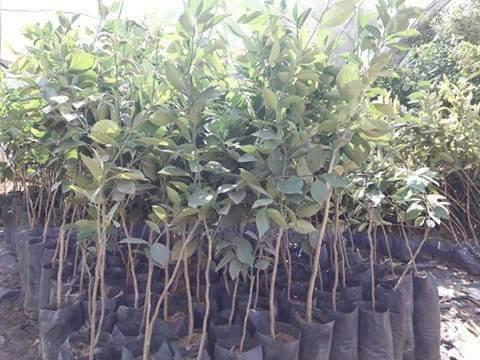 شتلات الفاكهة مخفضة السعر بزراعة الوادى الجديد (2)