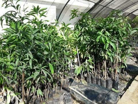 شتلات الفاكهة مخفضة السعر بزراعة الوادى الجديد (6)