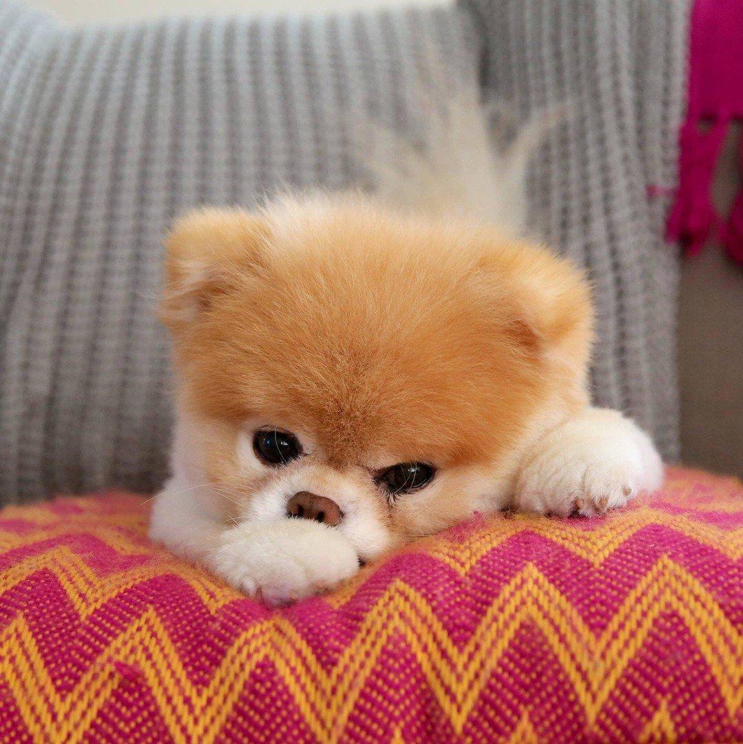 الكلب بو