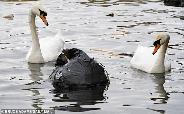 8999168-6634205-Floating_menace_Two_swans_warily_eye_a_bag_of_rubbish_on_the_Man-a-6_1548487456237