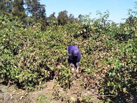 حكاية شفاء مزارعة بكفر الشيخ من فيروس سى (1)