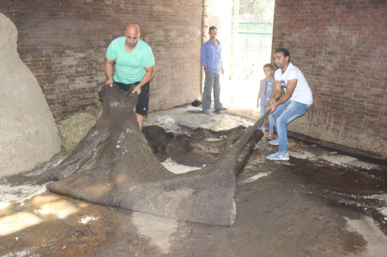 جلد الفيلة نعيمة  بحديقة حيوان الجيزة  (3)