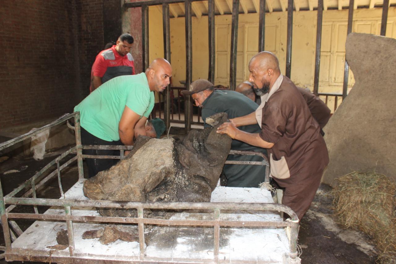 جلد الفيلة نعيمة  بحديقة حيوان الجيزة  (8)
