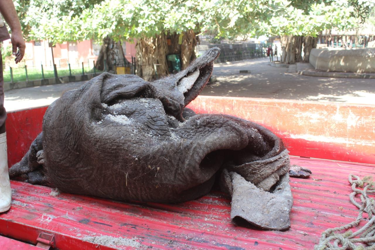 جلد الفيلة نعيمة  بحديقة حيوان الجيزة  (5)