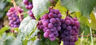 العنب يحارب الشيخوخة