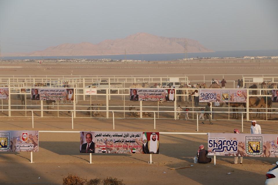 انطلاق فعاليات مهرجان شرم الشيخ الأول للهجن  (7)
