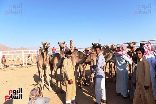 المشاركون فى مهرجان شرم الشيخ الدولى للهجن