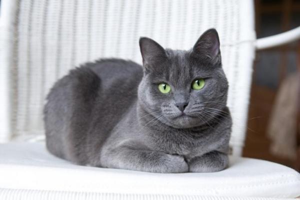القط الروسى الأزرق