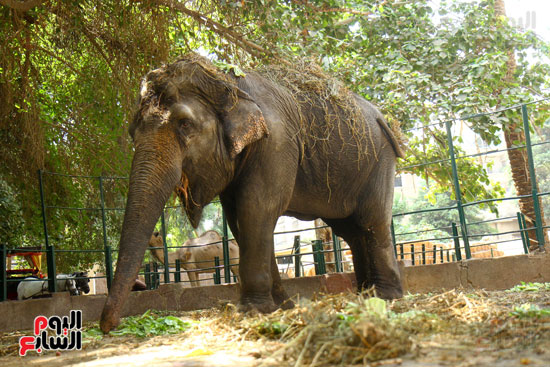 الفيلة نعيمة (2)