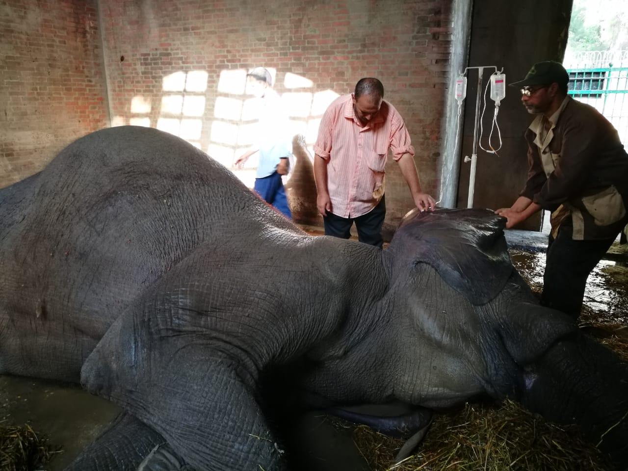 نفوق الفيلة نعيمية   (6)