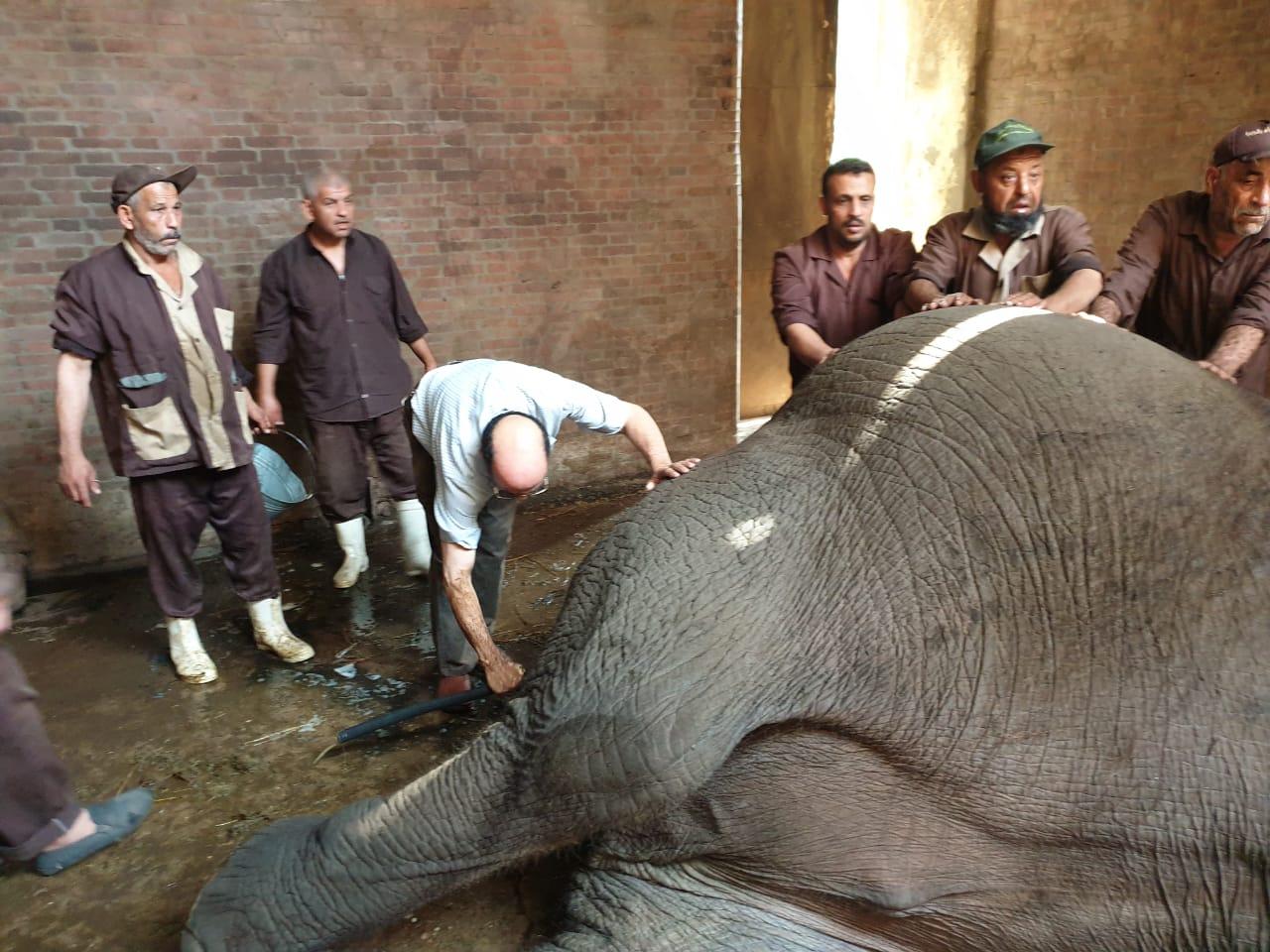 نفوق الفيلة نعيمية   (7)