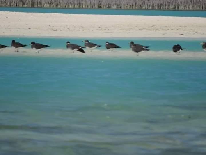 43-طيور مقيمة بشواطئ مرسي علم