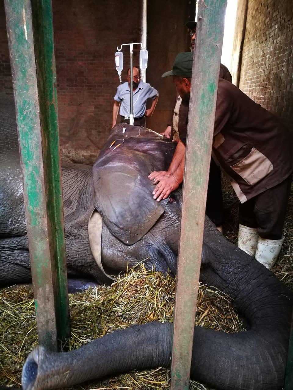 نفوق الفيلة نعيمية   (3)