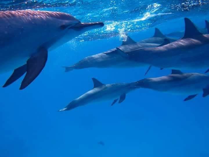 3- الدلافين ذو الأنف الزجاجية بمرسي علم