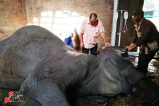محاولات-انقاذ-الفيلة-نعيمة
