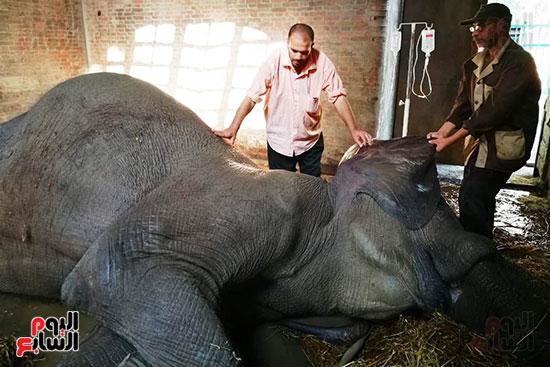 محاولات انقاذ الفيلة نعيمة