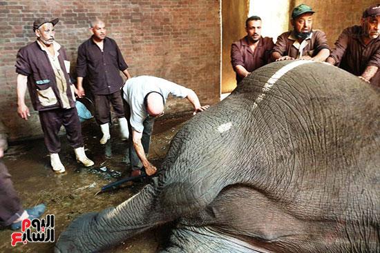 نفوق-الفيلة-نعيمة-(2)