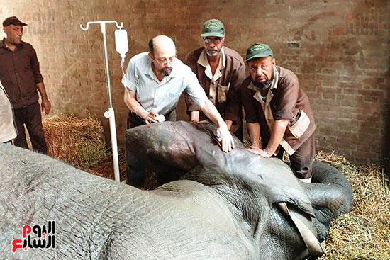 محاولات-انقاذ-الفيلة-نعيمة-(2)