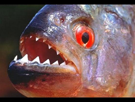102019916501607-سمكة-البيرانا