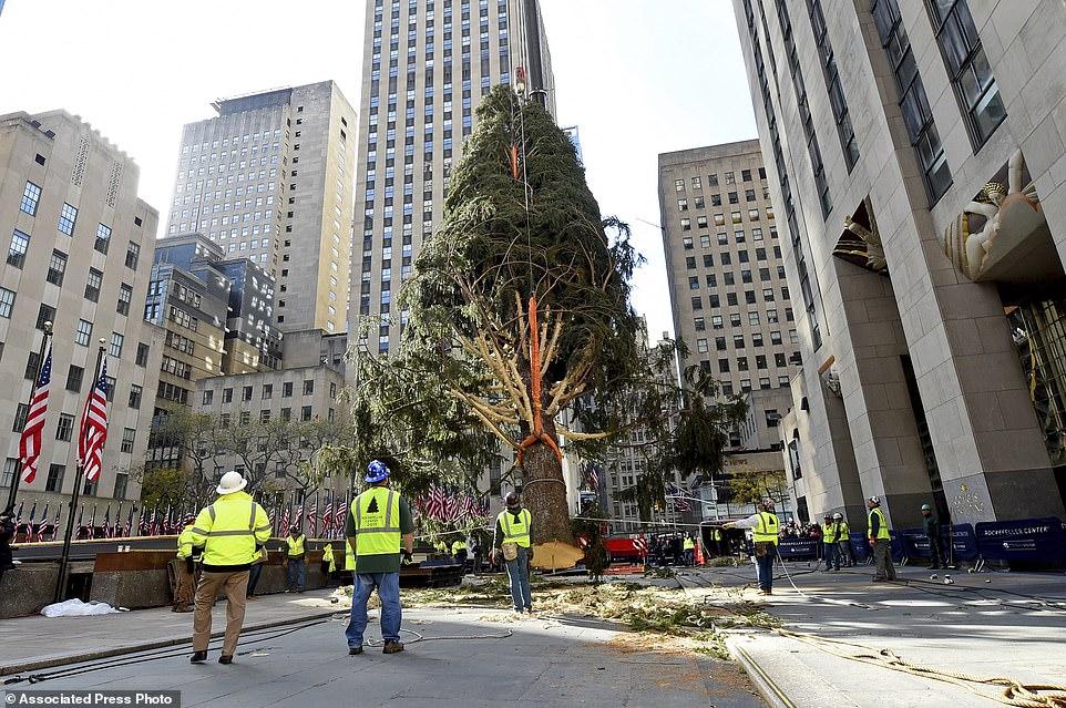 جانب من أعمال تثبيت الشجرة