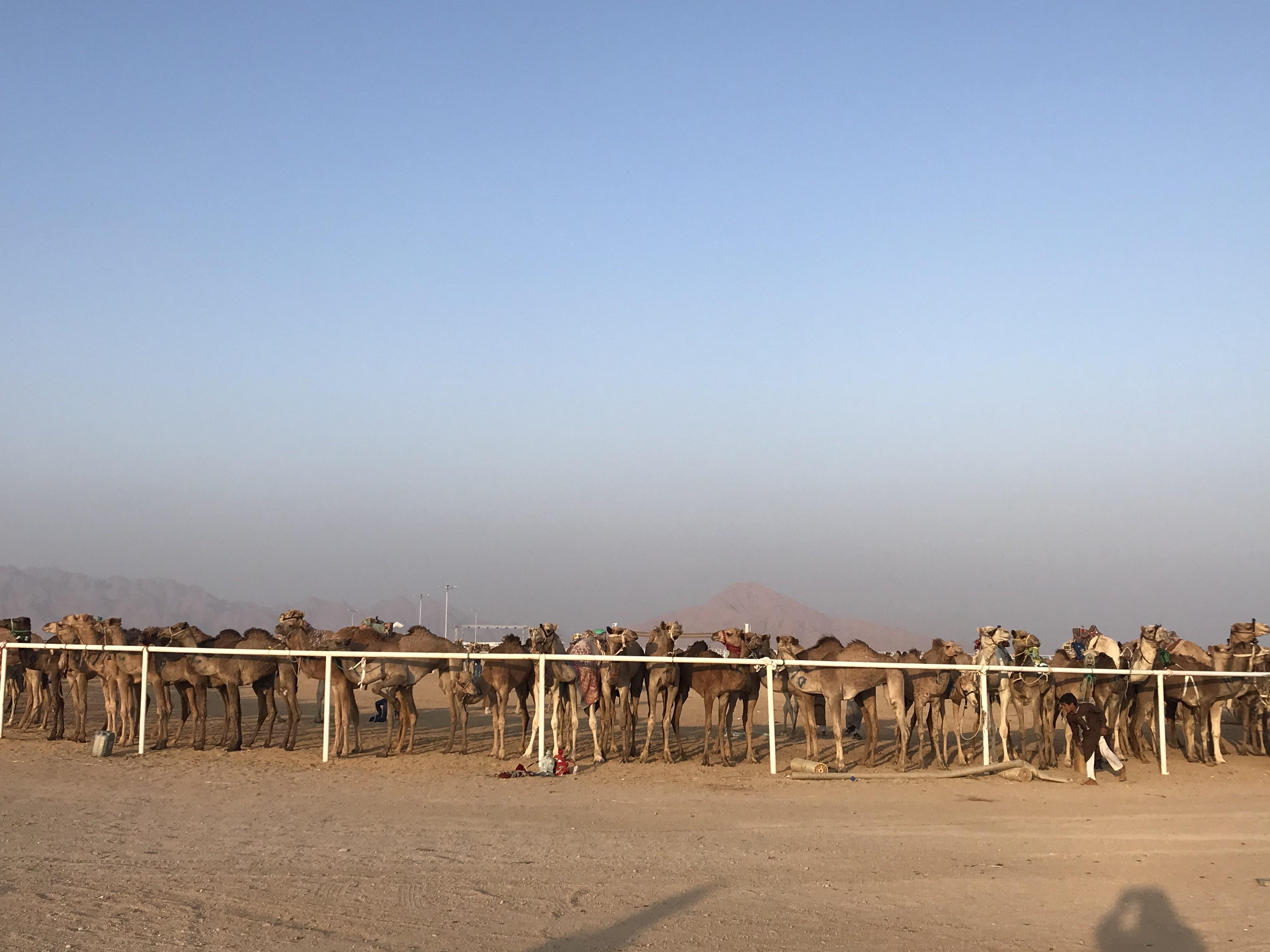 المشاركون فى مهرجان الهجن بشرم الشيخ من مختلف المحافظات (7)