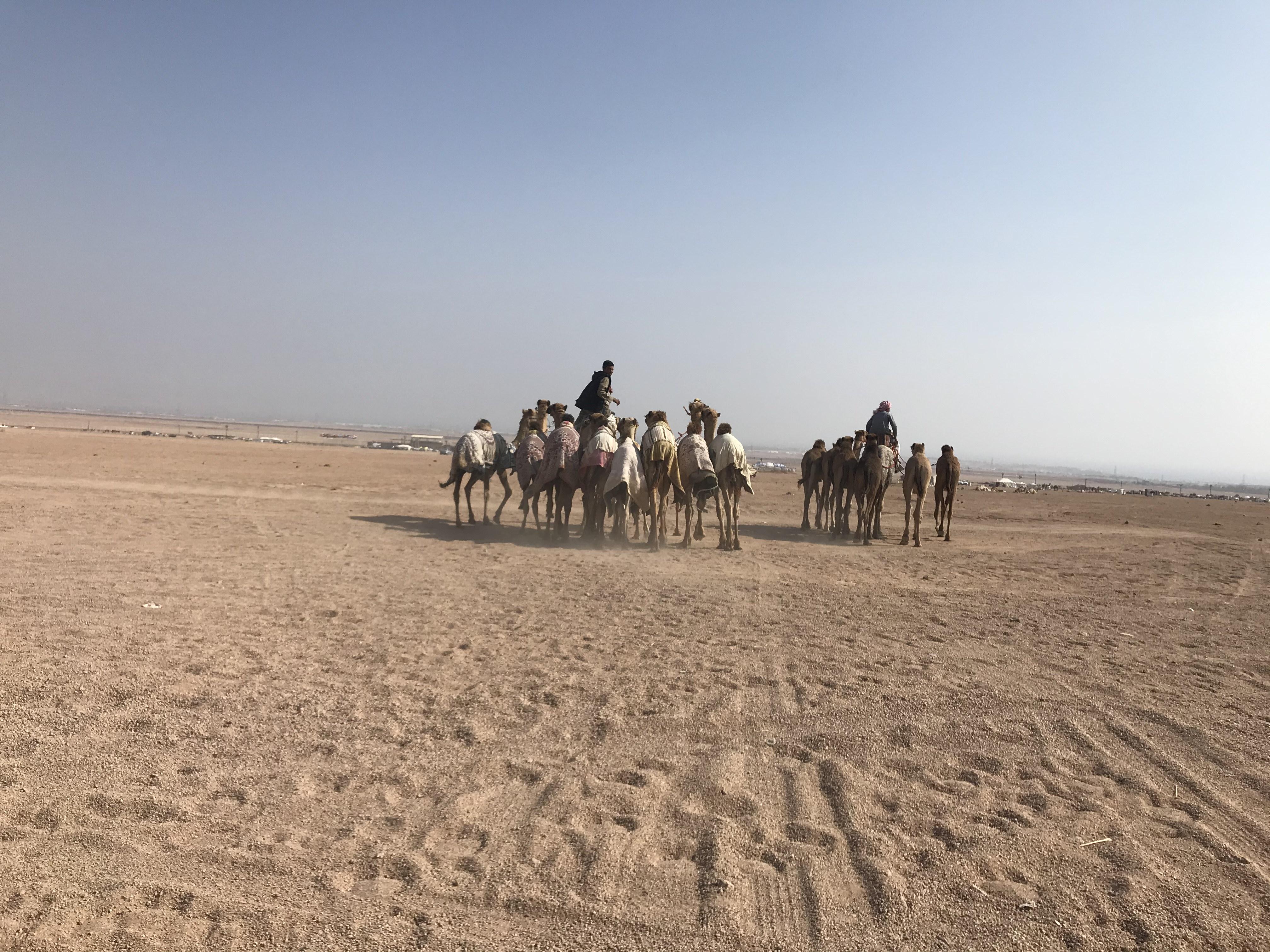 المشاركون فى مهرجان الهجن بشرم الشيخ من مختلف المحافظات (6)