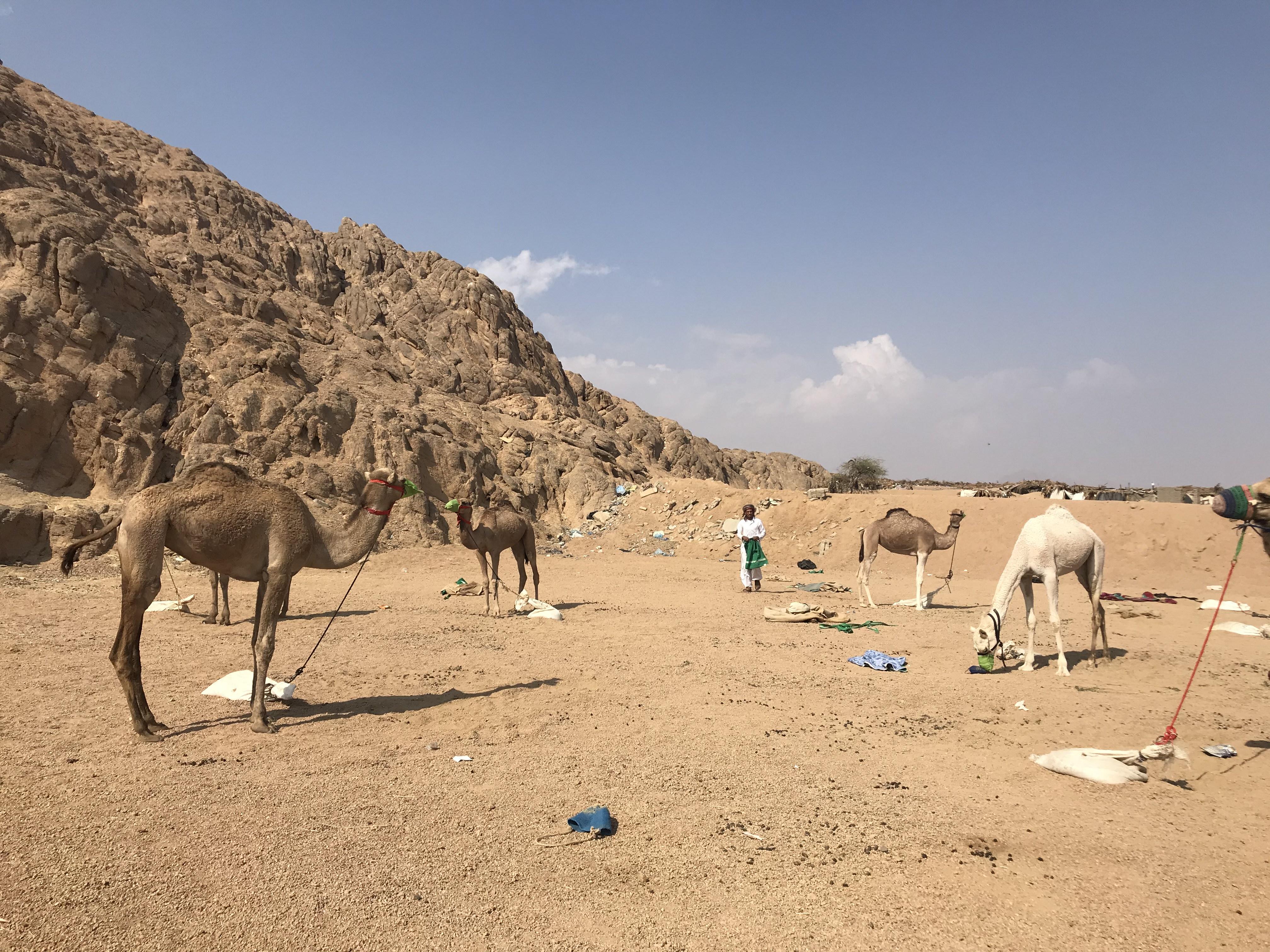 المشاركون فى مهرجان الهجن بشرم الشيخ من مختلف المحافظات (4)