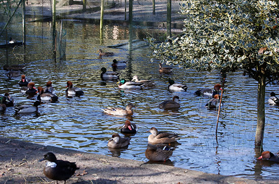 2019-11-19T123207Z_620514154_RC2CED9E547S_RTRMADP_3_FRANCE-DUCKS