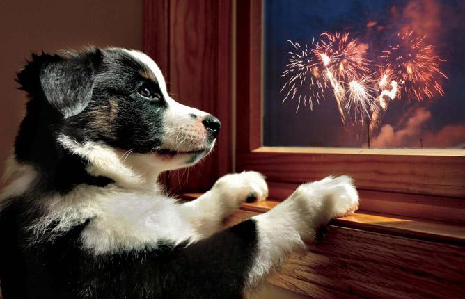 كلب يراقب الألعاب النارية