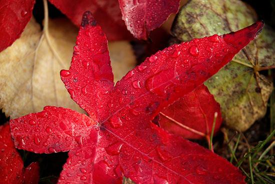 أوراق حمراء على الأرض خلال موسم الخريف فى فاس
