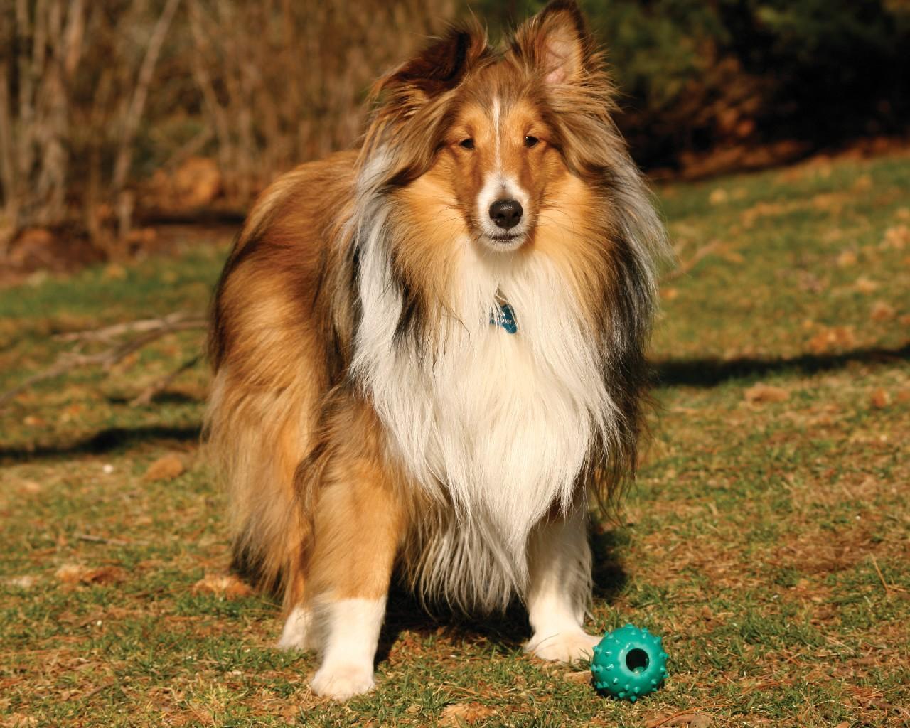 كلب الراعي شتلاند