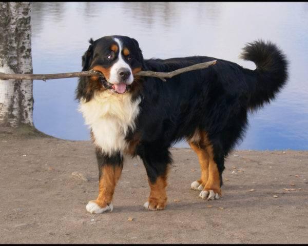 كلب جبل بيرنيز
