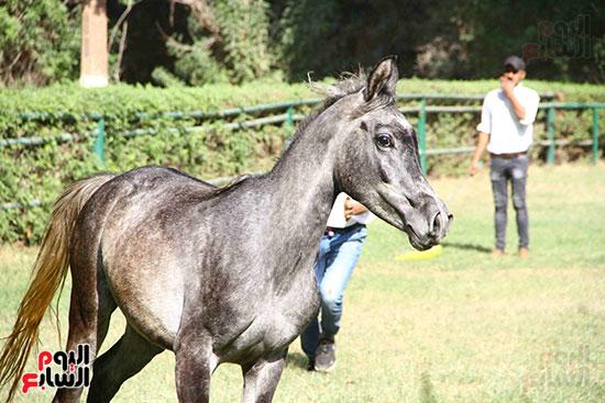 مزاد الخيول (14)