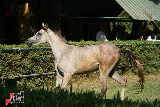 مزاد الخيول (7)
