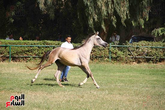 مزاد الخيول (9)