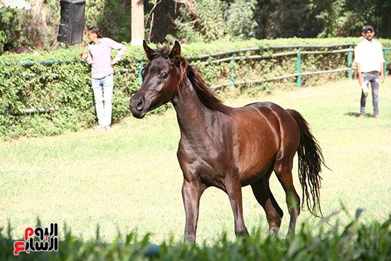 مزاد الخيول (21)