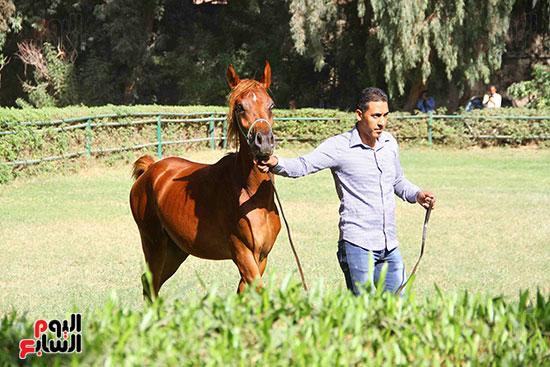 مزاد الخيول (1)