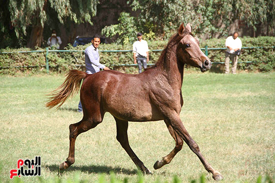 مزاد الخيول (16)