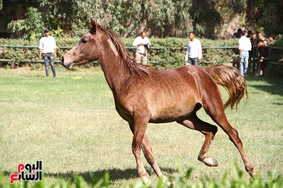 مزاد الخيول (15)